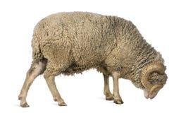 Moutons mérinos d'Arles, mémoire vive, 5 années, restant Images stock