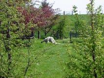 Moutons mal tondus Photo stock