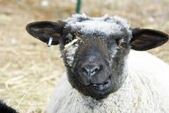 Moutons malpropres de Romney avec un sourire drôle. Image stock