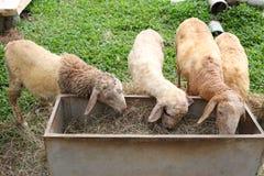 Moutons mangeant de la nourriture images libres de droits