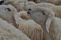 Moutons mangeant des greass Images stock