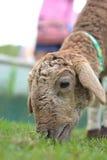 Moutons mangeant l'herbe à la ferme Image libre de droits