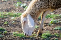 Moutons mangeant l'herbe images stock