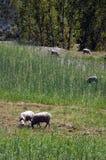 Moutons mangeant l'herbe Photographie stock libre de droits