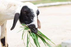 Moutons mangeant l'herbe Photographie stock