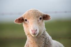 Moutons mangeant l'herbe Image libre de droits