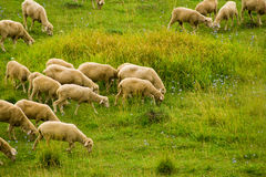 Moutons mangeant l'herbe Photo stock