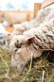 Moutons mangeant l'herbe et le foin dans la ferme Photo libre de droits