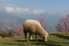 Moutons mangeant l'herbe sur le flanc de coteau image libre de droits
