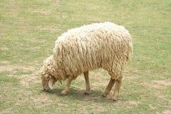 Moutons mangeant l'herbe verte Photo libre de droits