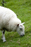 moutons mangeant l'herbe verte courte Photo stock
