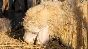 Moutons mangeant la paille de riz dans la ferme Photos stock