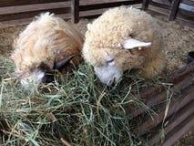 Moutons mangeant le foin Image stock