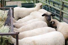Moutons mangeant le foin Images libres de droits