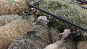 Moutons mangeant le foin banque de vidéos