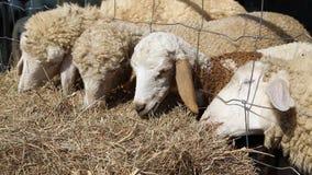Moutons mangeant le foin dans la ferme banque de vidéos