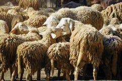 Moutons mangeant le foin dans le zoo photos libres de droits