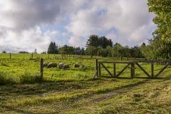 Moutons mangeant sur un champ vert Photo stock