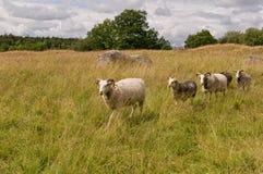 Moutons marchant à travers le pré Photos libres de droits