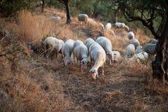 Moutons marchant en montagne à Kalamata Image stock