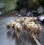 Moutons marchant sous la pluie Photographie stock libre de droits