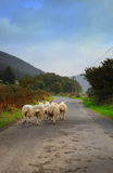 Moutons marchant sur la route Photos stock