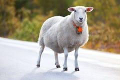 Moutons marchant sur la route Photographie stock
