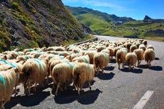 Moutons marchant sur la route. Images stock