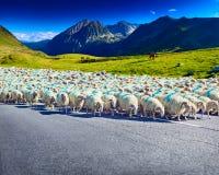 Moutons marchant sur la route Photos stock