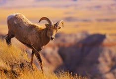 Moutons mats Photo libre de droits