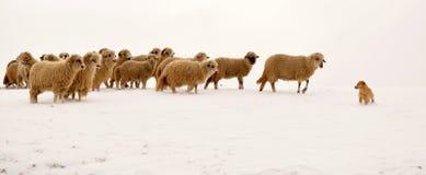Moutons menant un chien Image stock