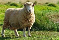 Moutons mignons Photo libre de droits