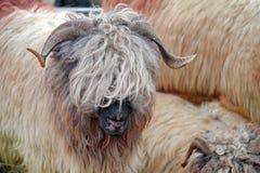 Moutons mignons photos libres de droits
