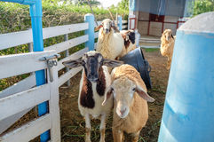 Moutons mignons de groupe dans la ferme photos libres de droits