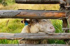 Moutons mignons derrière la barrière Photos stock