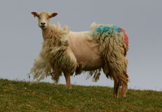Moutons minables images stock