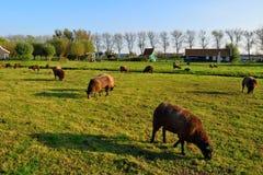 Moutons néerlandais frôlant l'herbe verte avec un fond de ciel Photo stock