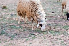 Moutons négligés et sales frôlant dans les montagnes rocheuses, atlas, MOIS Photos stock