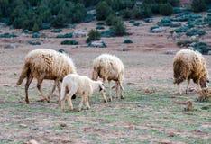 Moutons négligés et sales frôlant dans les montagnes rocheuses, atlas, MOIS Image libre de droits