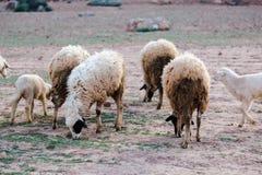 Moutons négligés et sales frôlant dans les montagnes rocheuses, atlas, MOIS Photos libres de droits