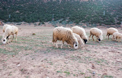 Moutons négligés et sales frôlant dans les montagnes rocheuses, atlas, MOIS Image stock