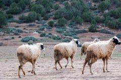 Moutons négligés et sales frôlant dans les montagnes rocheuses, atlas, MOIS Images libres de droits