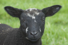 Moutons noirs Images stock