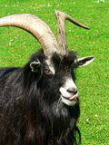 Moutons noirs Images libres de droits