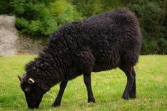 Moutons noirs Photos stock