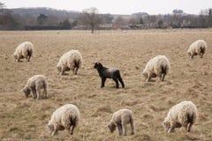 Moutons noirs de la famille Images libres de droits