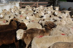 Moutons noirs essayant de s'adapter dedans Photo stock