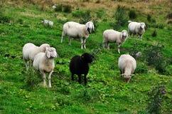 Moutons noirs et blancs Photo stock