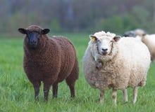 Moutons noirs et blancs Image stock