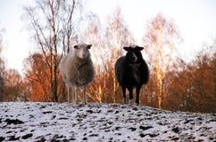 Moutons noirs et blancs dans le coucher du soleil Images stock